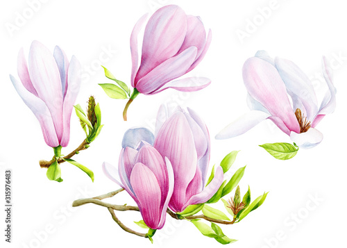 set of magnolia flowers on an isolated transparent background, watercolor illust Wallpaper Mural