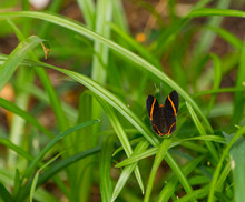 Mariposa Negra Con Lineas Amarillas Posada En Cesped