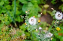Close Up Of Sow Thistle Puff B...
