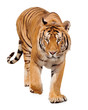 Tiger walking on white background