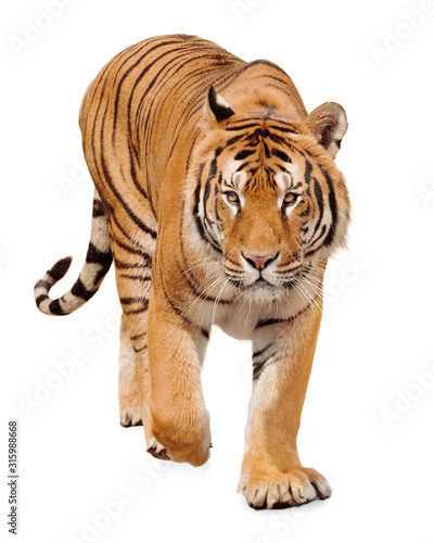 Obraz Tiger walking on white background - fototapety do salonu