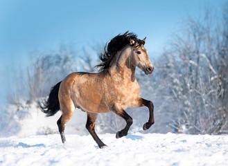 Bucksin lusitano horse runs free in winter field