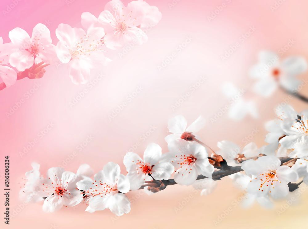 Fototapeta Blossom tree over pink background. Spring flowers. Spring Background