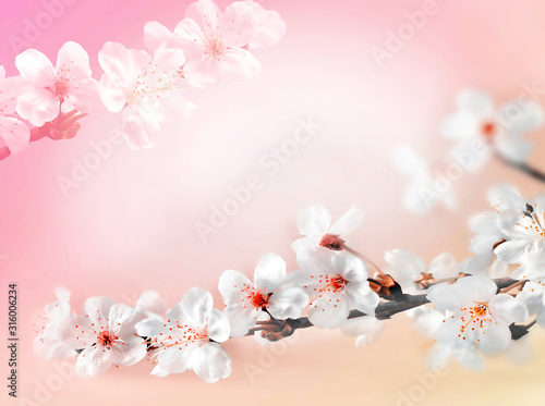 Obraz Blossom tree over pink background. Spring flowers. Spring Background - fototapety do salonu
