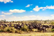 A Herd Of Wildebeest During Gr...