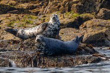 Grey Seals On The Isle Of May