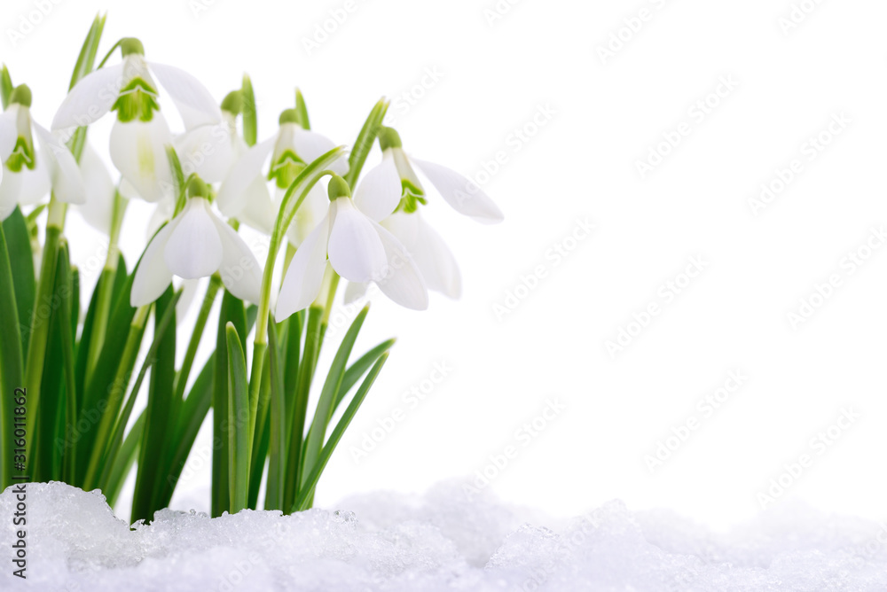 Fototapeta Snowdrops and Snow.