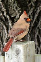 Illustration Of Female Northern Cardinal