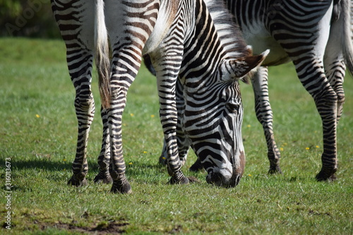 Photo zebra grazing