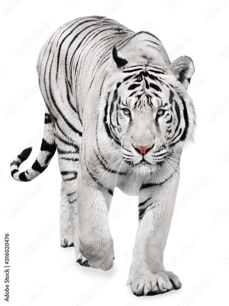 Fototapeta Strong white tiger walking, isolated on white background