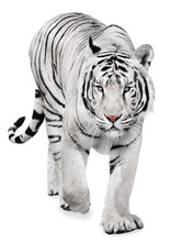 Strong White Tiger Walking, Is...