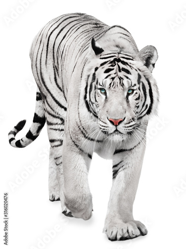 Fotografía Strong white tiger walking, isolated on white background