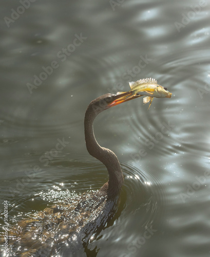 Photo Male Anhinga with fish speared