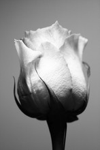 Black And White Shot Of A Rose...