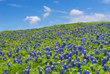 Texas Bluebonnets Blooming On ...