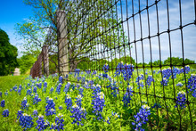 Bluebonnets Blooming Along Cou...