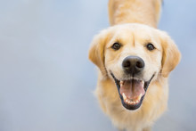 Portrait Of Smiling Golden Ret...