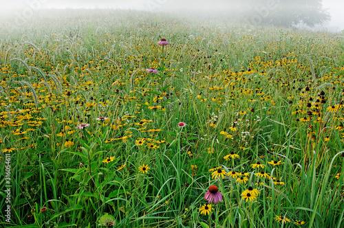 Fotografie, Tablou Landscape of a wildflower meadow of black-eyed susans inlight fog, Michigan, USA