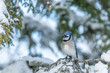 Winter scene of a perched bluejay landscape