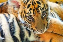 Tiger Cub- Taking A Rest- Thai...
