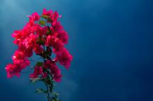 Bouquet Of Red Bougainvillea F...