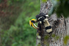 Great Hornbill Male(Buceros Bicornis),Bird In The Nest, Sitting On The Branch In The Green Tropic Forest. Beautiful Jungle Hornbill, Wildlife Scene From Nature,Southern Thailand