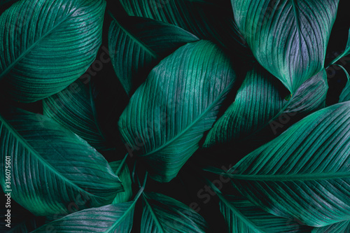 leaves of Spathiphyllum cannifolium, abstract green texture, nature background, tropical leaf #316075601