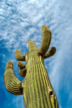 Looking Up At A Cactus