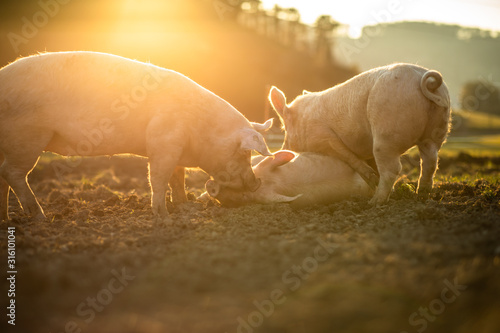 Pigs eating on a meadow in an organic meat farm Canvas