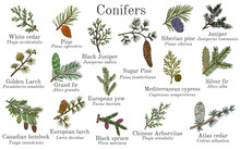 Set Of Different Conifiers Branches With Cones