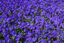 Floral Violet Pattern. Backgro...