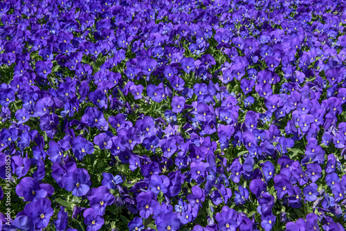 Floral violet pattern. Background from many violets. Flowered meadow.