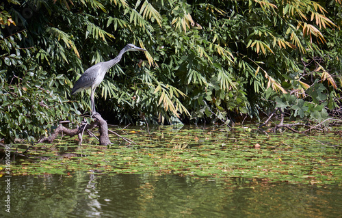 A young grey heron (Ardea cinerea) looking for the food in the water of pond Wallpaper Mural