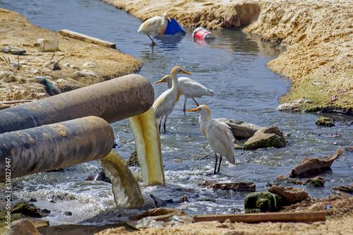 Egrettes sur une plage polluée par les égouts Wallpaper Mural