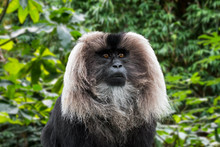Lion-tailed Macaque / Wanderoo (Macaca Silenus)
