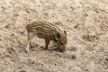 A Little Wild Boar Piglets Dig In The Ground For Food