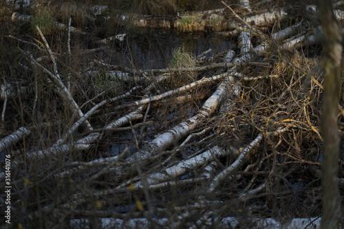 suche zwalone brzozy w bagnie - 316141076