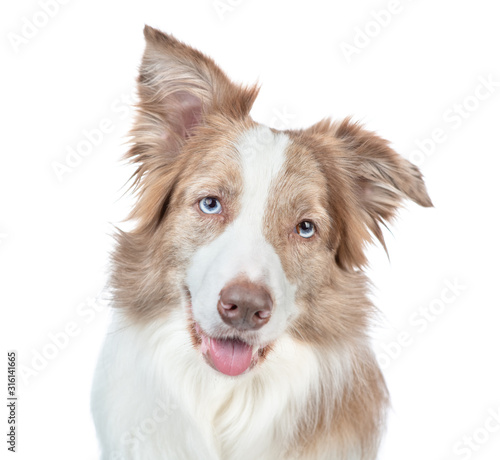 Fototapety, obrazy: Border collie dog looks at camera, with tilted head. isolated on white background