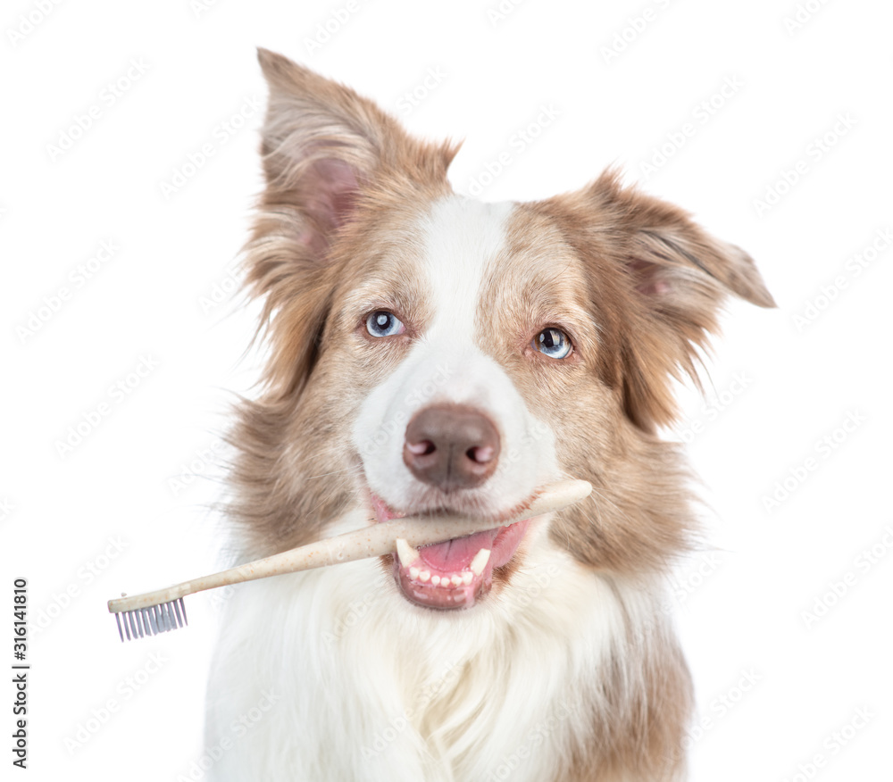 Happy Border collie dog holds toothbrush in his mouth. isolated on white background