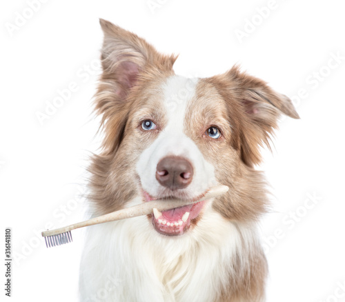 Fototapeta Happy Border collie dog holds toothbrush in his mouth. isolated on white background obraz