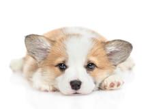 Sad Pembroke Welsh Corgi Puppy...