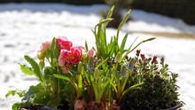 Pink Primroses, Daffodils And ...