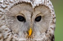 Tawny Owl, Nocturnal Bird Of P...