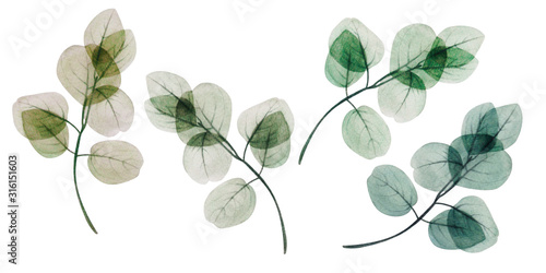 Fototapeta  Watercolor eucalyptus leaf set. Floristic design elements for floristics. Hand drawn illustration. Greeting card. Floral print. Plant painted background. For postcards, greetings, cards, logo.  obraz