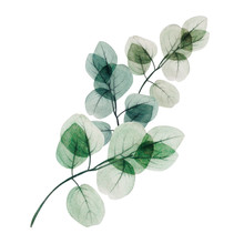 Watercolor Eucalyptus Leaf Branch. Floristic Design Elements For Floristics. Hand Drawn Illustration. Greeting Card. Floral Print. Plant Painted Background. For Postcards, Greetings, Cards, Logo.