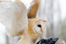 Barn Owl, Nocturnal Bird Of Pr...