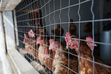 Backyard Chickens In Wire Chic...