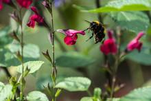 Buff-tailed Bumblebee (Bombus Terrestris) Flying Near A Dark Pink Salvia Flower