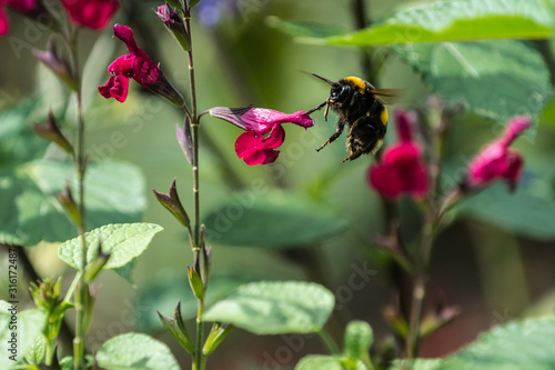 Tableau sur Toile Buff-tailed Bumblebee (Bombus terrestris) flying near a dark pink salvia flower