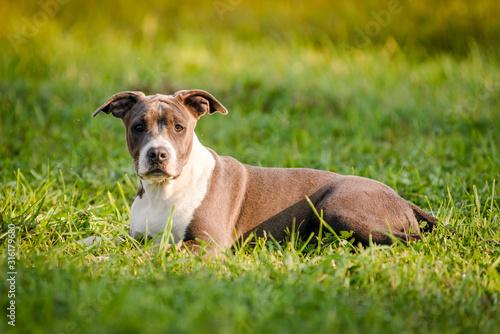 Fotografia puppy staffordshire terrier walks in the park in autumn